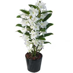 Witte Orchidee Dendrobium