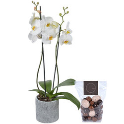 Orchidee phalaénopsis wit