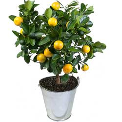 Sinaasappelboom Calamondin