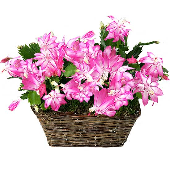Home flower delivery, basket of orchid cacti