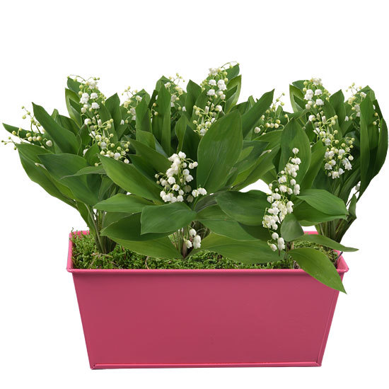 Pink Planter of Lily-of-the-Valley