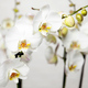 Orchidées blanches So chic !