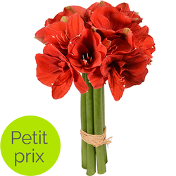 Amaryllis rouges