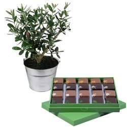 Olive-tree and Chocolates