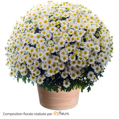 All Saints' Day flowers white pomponette chrysanthemums