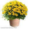 All Saints' Day flowers yellow pomponette chrysanthemums