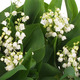 Garden of Lily-of-the-Valley Pale Salmon