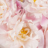 Bouquet of pale pink peonies