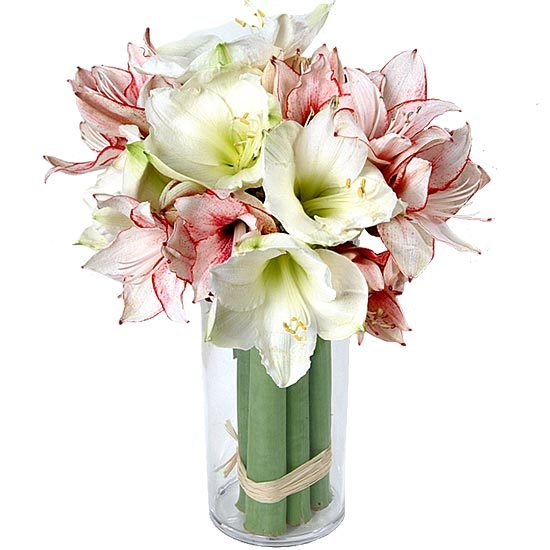Send these red and white amaryllis