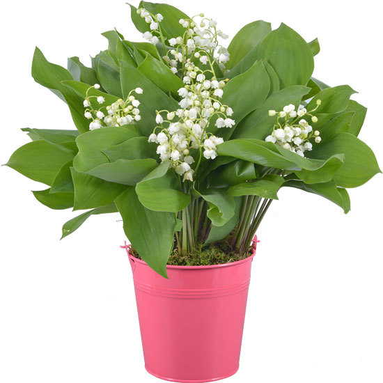 Woodland Lily-of-the-Valley in a Pink Vase