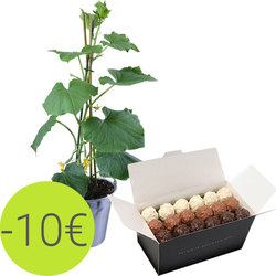 Cucumber plant and rochers