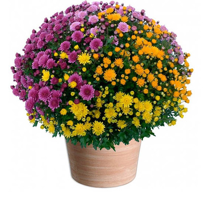 All Saints' Day flowers multicoloured pomponette chrysanthemums
