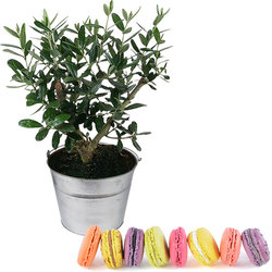 A 25 cm olive-tree and macaroons