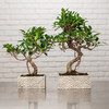 Zen Chic Bonsai