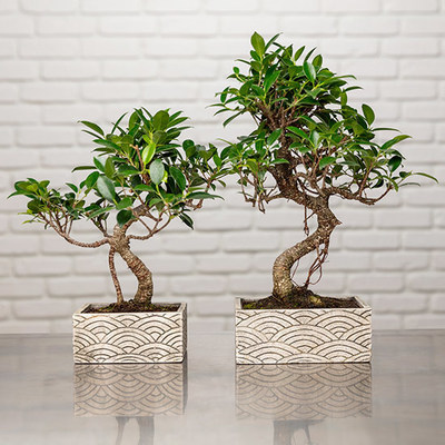 Bonsai - Zen Chic