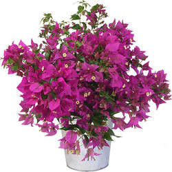 Bougainvillea in zinken pot