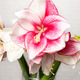 Spectaculaires amaryllis