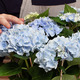 Blauwe Hortensia in pot