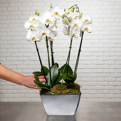 So Chic! Luxurious white orchids