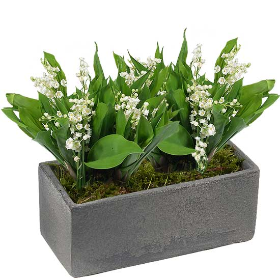 Grey Planter of Lily-of-the-Valley