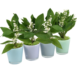 4 Pots of Lily-of-the-valley