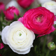 Beautiful Ranunculus