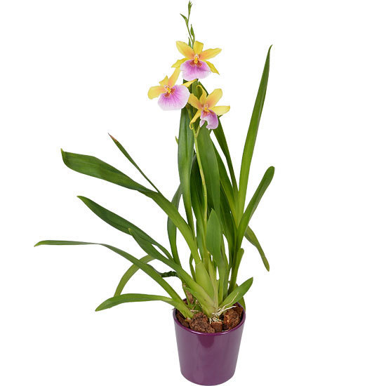 Sunset Miltonia Orchid