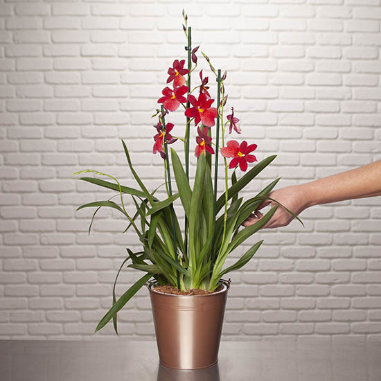 Orchidee Nelly Isler