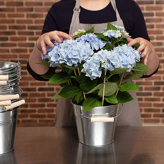 Blue Potted Hydrangea