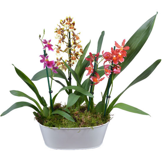 Scented Orchid Garden
