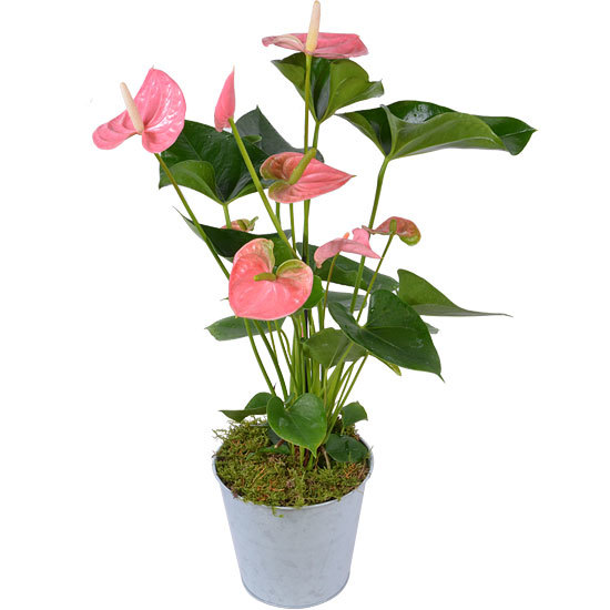 Flamingo Pink Anthurium