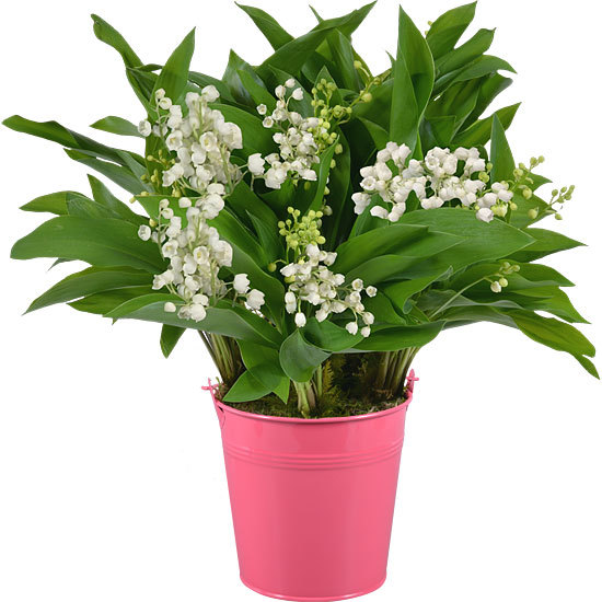 Lily-of-the-Valley in a Pink Vase