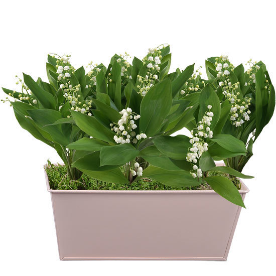 Pastel Planter of Lily-of-the-Valley