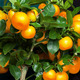 Calamondin orange tree