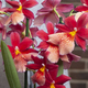 Nelly Isler Cambria orchid