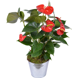 Red Flamingo Anthurium