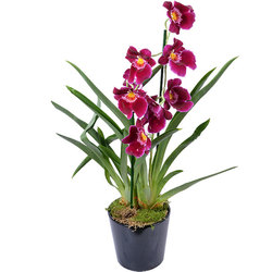 Red Tide Miltonia Orchid