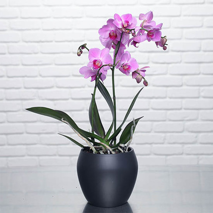 Schmetterling Orchidee