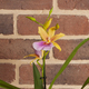 Sunset Miltonia Orchidee