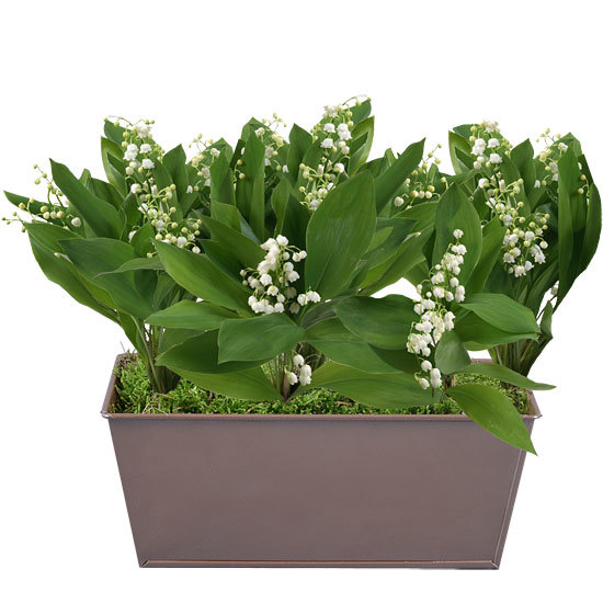 Chic and Fragrant Lily-of-the-Valley