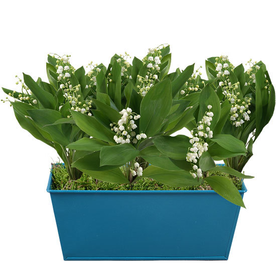 Blue Planter of Lily-of-the-Valley