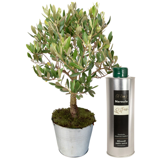 The olive tree and its olive oil
