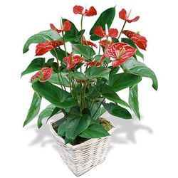 Same day delivery available with the Anthurium