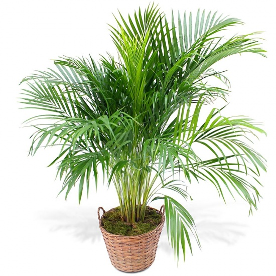 Same day delivery available with the Areca
