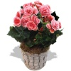 Same day delivery available with the Begonia Bouquet