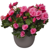 Same day delivery available with the Begonia