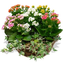 Same day delivery available with the Kalanchoe Arrangement