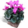 Same day delivery available with the Cyclamen