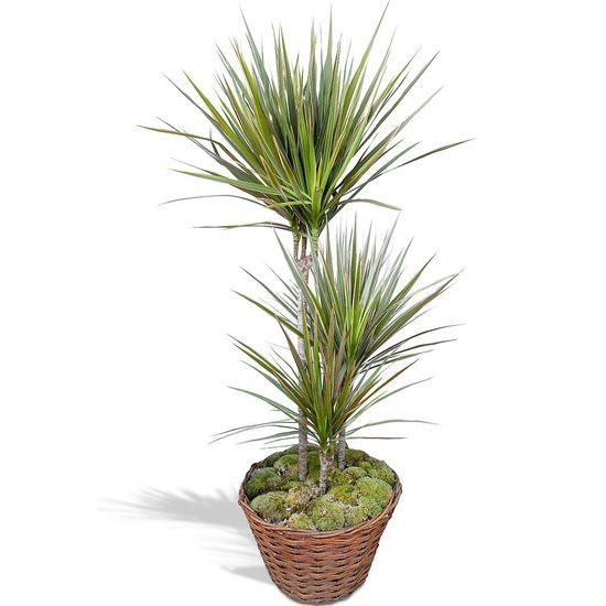 Same day delivery available with the Dracaena