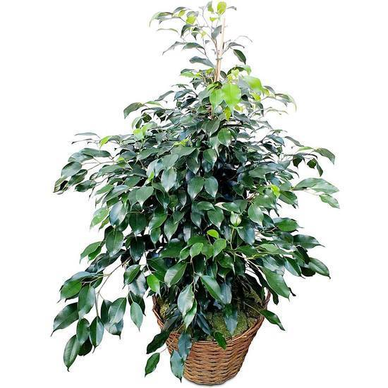 Same day delivery available with the Ficus Bouquet